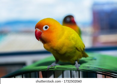 Cute domestic yellow lovebird. This lovebird is in cage. These are cute lovebirds pets