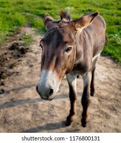 cute donkey looks down. cute bored donkey on the pasture