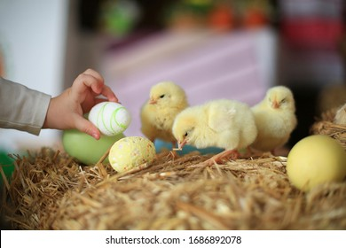 Cute downy fluffy real yellow newborn chickens on straw. Farm lifestyle. Little baby takes lay down chicken egg near nestling chick on hay. Easter concept. chick holds a straw in its beak