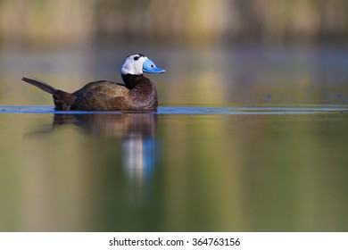 Cute duck swimming. White headed duck. Green nature background.