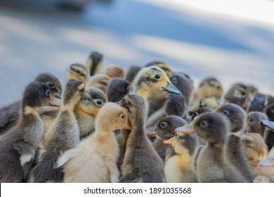Cute duckling duck farming bird flu