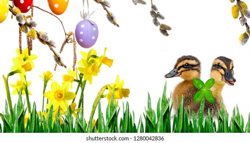cute ducklings ( indian runner duck) isolated on a white background and easter eggs