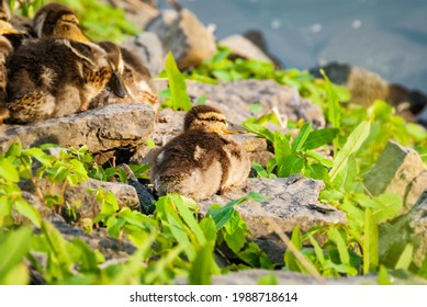 Cute ducklings laying on the bank near water at sundown