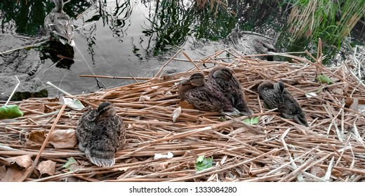 Cute Ducklings Resting In the Nest on the Balatonfured Lake