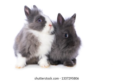 Cute dwarf rabbits isolated on white background