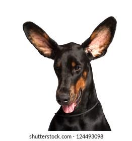 Cute ears of dobermann dog isolated on white