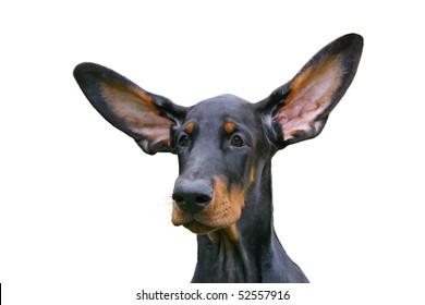 Cute ears of dobermann puppy dog on green