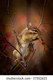 A cute Eastern chipmunk, Tamias striatus, is perched on a branch, stuffing its cheeks with red wild berries