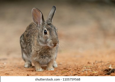 Cute Eastern Cottontail Rabbit in Southern Texas, USA