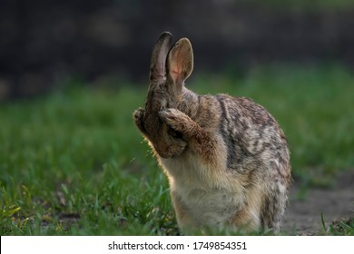 cute Eastern cottontail washes its face big eyes I don't want to see afraid