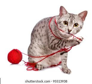 A cute Egyptian Mau cat plays with a red ball of yarn.
