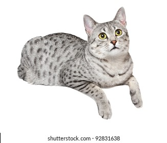 A cute Egyptian Mau cat is relaxing over an edge.  White background.