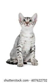 Cute Egyptian Mau kitten isolated on white background