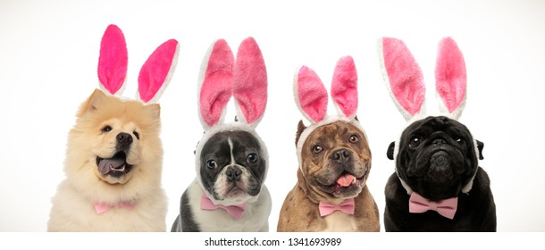 cute elegant dogs wearing bunny ears and bow ties as easter costume on white background