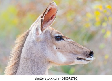 Cute elegant Kudu female head close up and portrait. Wildlife Safari in the Kruger National Park, the main travel destination in South Africa. Focused on eyes.