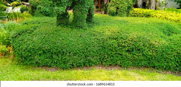 Cute Elephants shaped topiary on green lawn in public park in Thailand. Trimming ornamental shrub is very popular landscaping and gardening in Asia.Topiary clipping.
