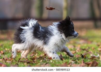 cute Elo puppy walking on the meadow