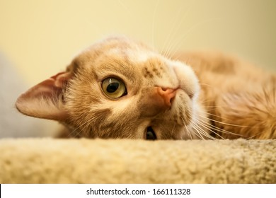 Cute and endearing ginger cat rolling and looking out from the top of the stairs