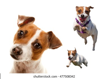 Cute and Energetic Jack Russell Terrier Dog Set of Images Isolated on a White Background.