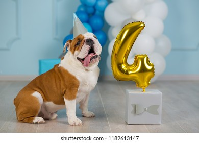 Cute english bulldog celebrating his 4 birthday party dog happy sitting in studio performance