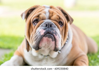Cute English bulldog portrait,selective focus