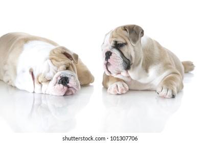 Cute english bulldog puppies playing isolated