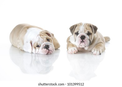 Cute english bulldog puppies playing isolated