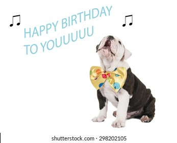 Cute english bulldog puppy with bow tie singing happy birthday to you at a white background