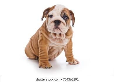 Cute english bulldog puppy (isolated on white)