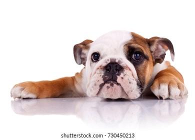 cute english bulldog puppy lying down on a white background