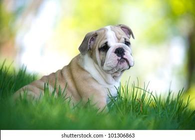 Cute english bulldog puppy playing outdoors