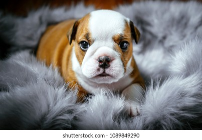 Cute english bulldog puppy,selective focus