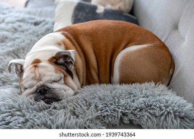Cute english bulldog sleeping on the couch