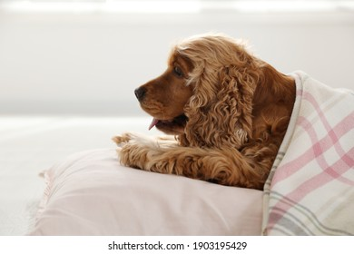 Cute English cocker spaniel dog with plaid and pillow on floor