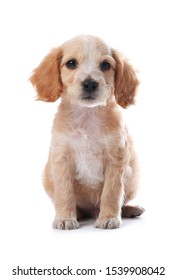 Cute English Cocker Spaniel puppy on white background