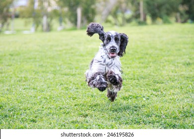 Cute English Cocker Spaniel running happy