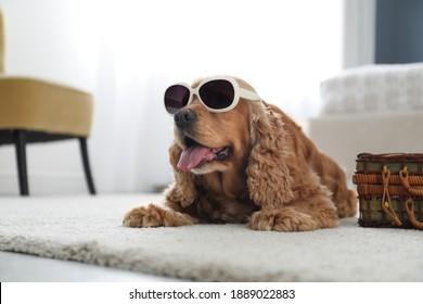 Cute English Cocker Spaniel in sunglasses near suitcase indoors. Pet friendly hotel
