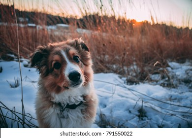 A cute English shepherd looks longingly at the camera during a beautiful sunset. With his head tilted slightly, this picture is sure to evoke an emotional response from anyone who views it!