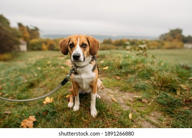 cute Estonian hound dog in autumn on the nature