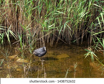 Cute Eurasian coot in natural habitat standing at water's edge near reeds. Fulica atra.