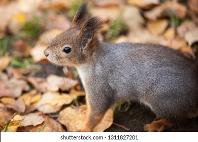 Cute eurasian red squirrel in the wild