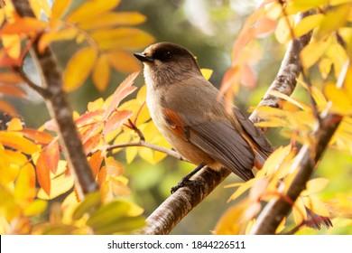Cute European bird Siberian jay, Perisoreus infaustus, in autumnal taiga forest in Konttainen fell near Ruka, Kuusamo, Northern Finland. - Shutterstock ID 1844226511