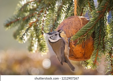 Cute European Crested Tit bird eating bird feeder, coconut Shell suet treats made of fat, sunflower seeds during the Winter in Europe (Lophophanes cristatus)