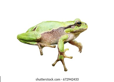 cute european green tree frog isolated over white background, for your design ( Hyla arborea )
