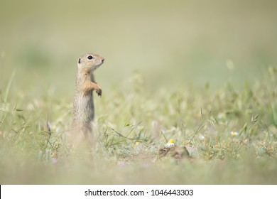 Cute European ground squirrel standing and watching on a field of green grass, Spermophilus citellus, Dobrogea, Romania - Shutterstock ID 1046443303