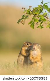 Cute European ground squirrels (Spermophilus citellus, Ziesel) sitting on a field