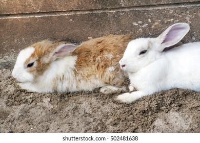 cute european rabbit on sand.