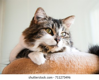 Cute european tabby cat with long hair on cream cat tree