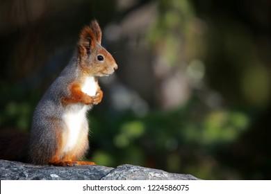 cute eurorasian squirrel