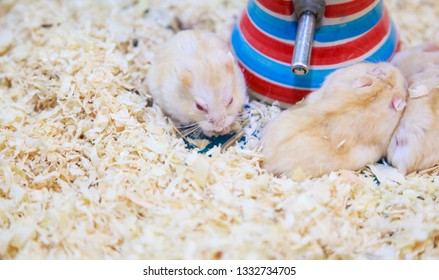 Cute Exotic Red-eyed Lilac Dwarf Campbell Hamster eating pet food. Campbell Hamster is known as Russian Dwarf, Siberian Dwarf, Siberian Hamster. Pet health care, human friend, Feeding pet concept.